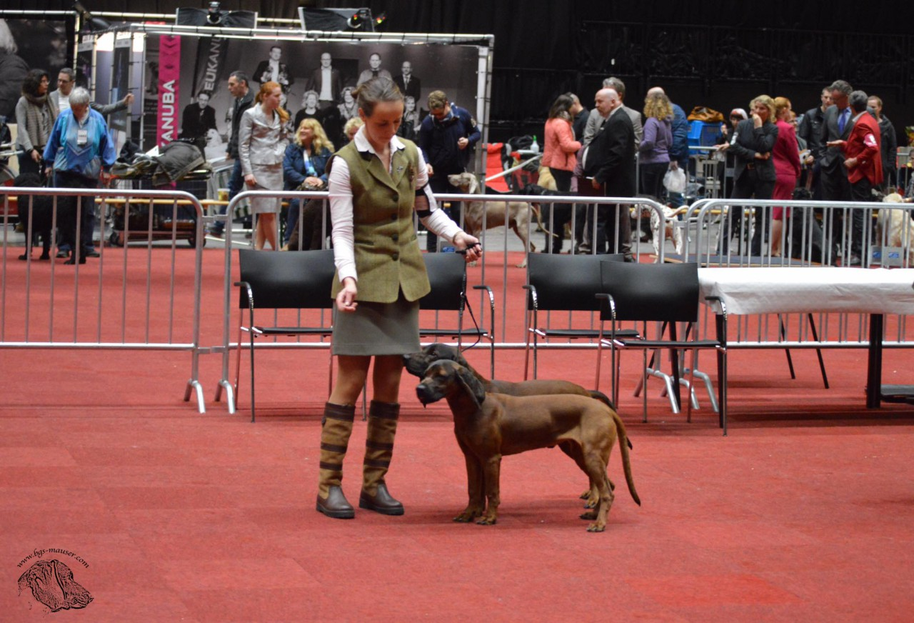 coupleclass bavarian mountain dog bayerische gebirgsschweisshund martinidogshow 2017